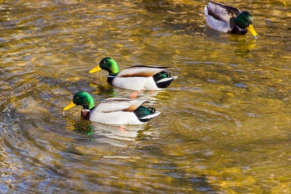 mallard drakes swimming-