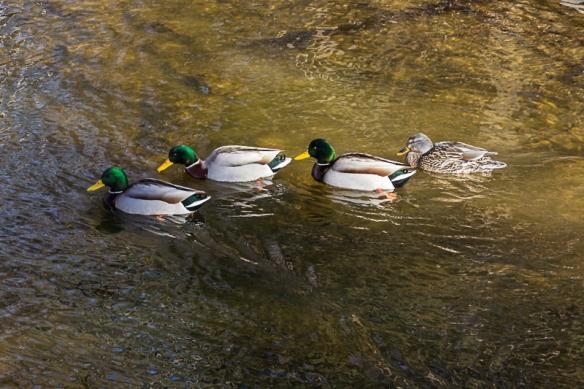mallards swimming