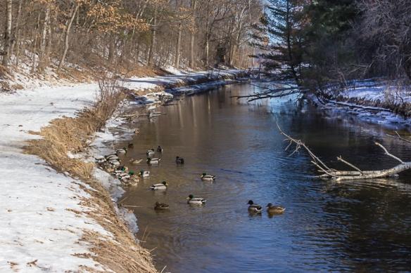 mallards swimming-Sucker Lake creek