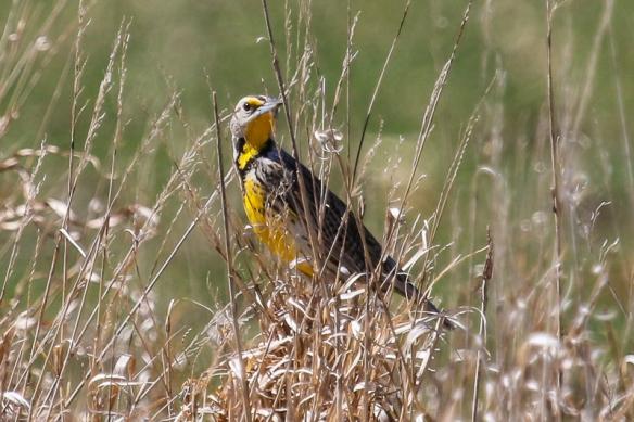 Eastern Meaadowlark male
