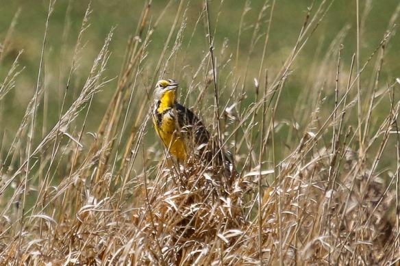 Meaadowlark male