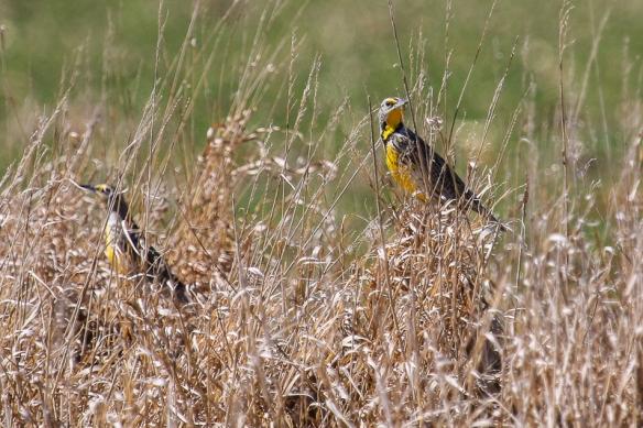 Eastern Meaadowlark male and female-