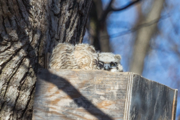 This younger of the two owlets has a distinctly white face and forehead, but is already starting to develop ear tufts, so it is probably at least 3 weeks old.