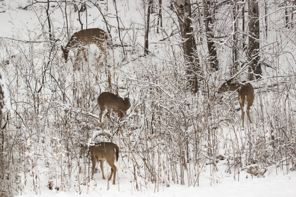 White-tailed deer herd foraging after a snowstorm