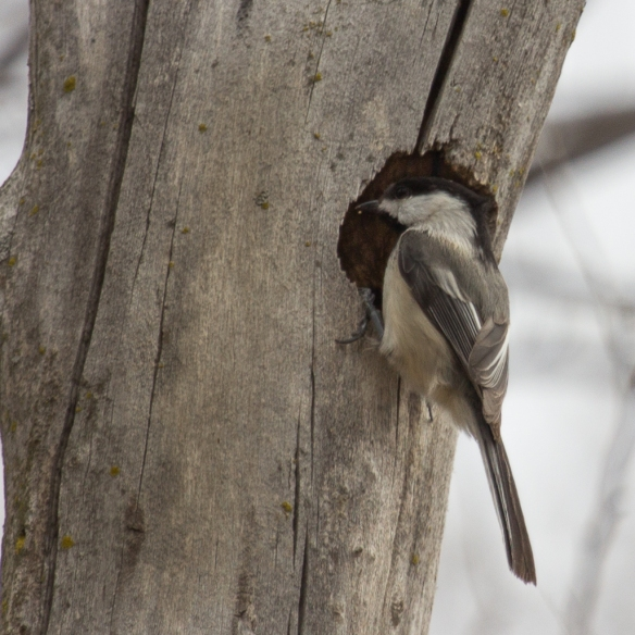 Black-capped chickadee entering nest hole