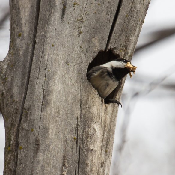 Black-capped chickadee leaving nest hole-