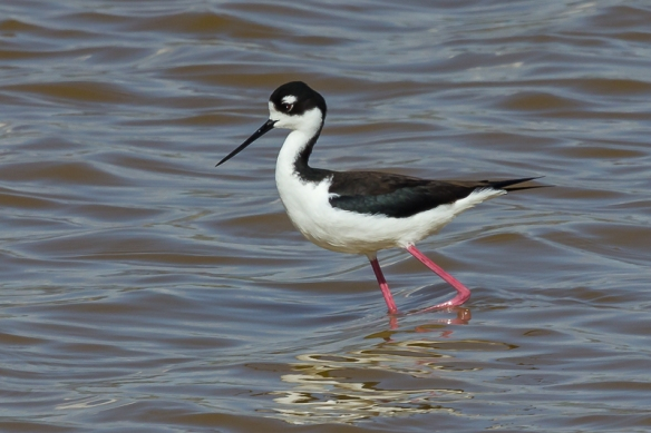 black-necked stilt-