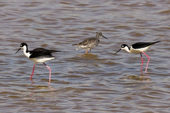 black-necked stilt and greater yellowlegs
