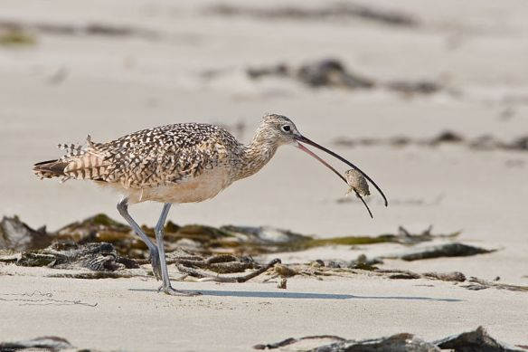 Long-billed_Curlew_eating_sand_crab-Mike Baird