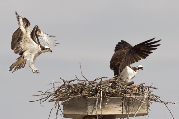 osprey pair-at their nest
