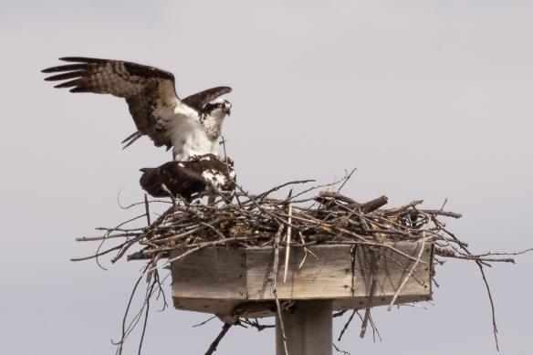 osprey pair at their nest