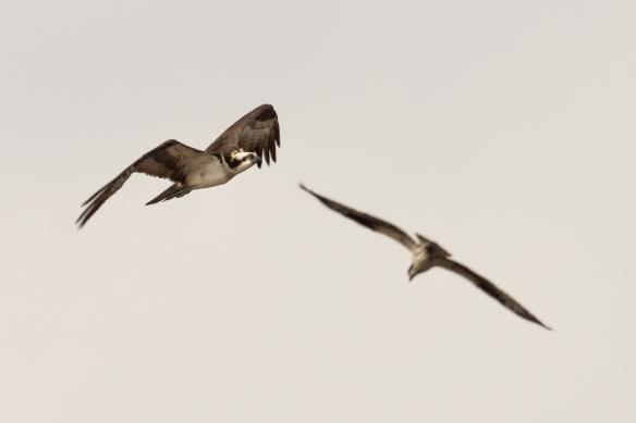osprey pair flying