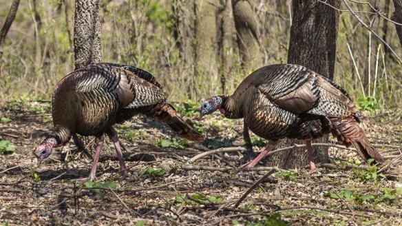pair of tom turkeys
