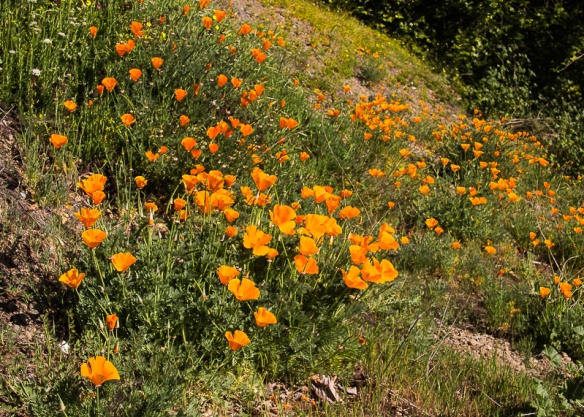 California poppies along the trail