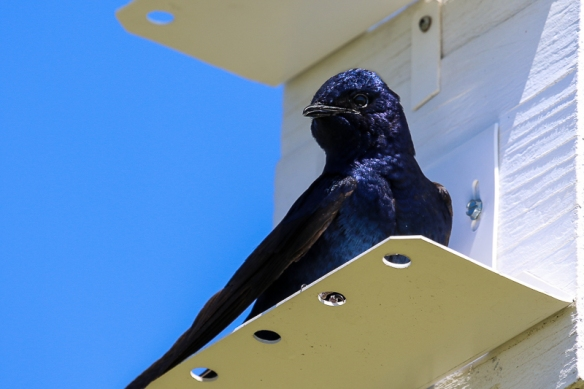 purple martin male-