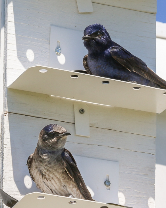 a pair of purple martins