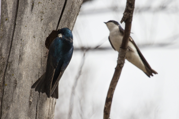 Tree Swallows checking nest hole