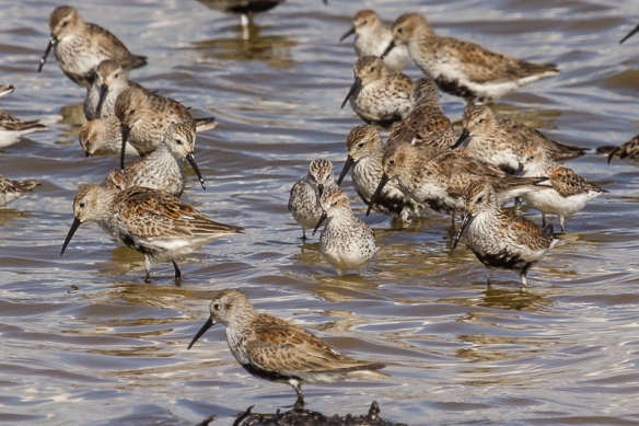 western sandpiper and dunlin