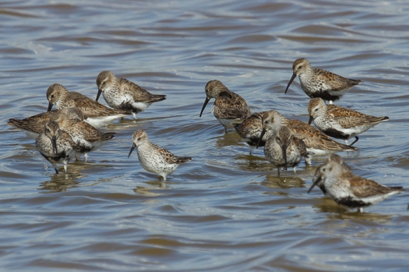 western sandpiper and dunlin-