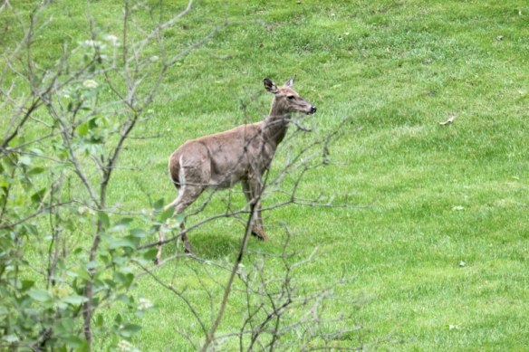 White-tailed doe waiting for her fawn-