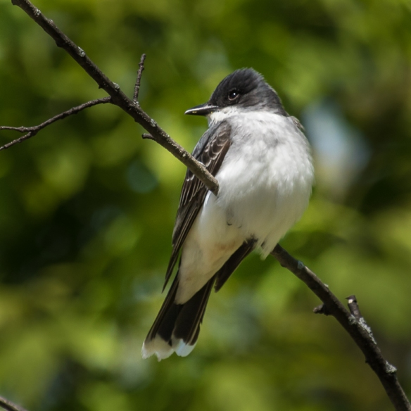 eastern kingbird-