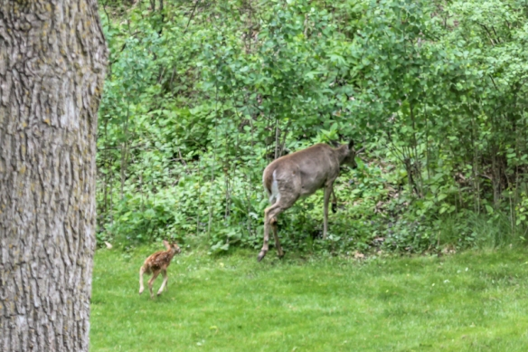 White-tailed doe and her fawn