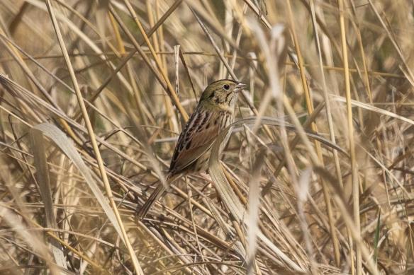 henslow's sparrow, Frontenac State Park, MN