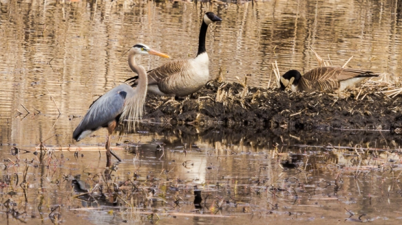Great Blue Heron gets too close to a Canada Goose nest