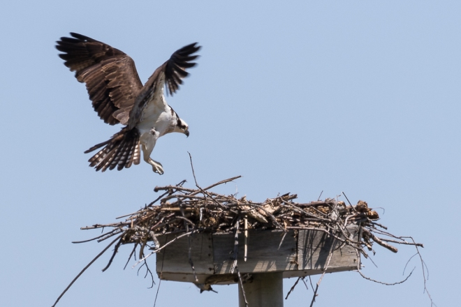 osprey at the nest