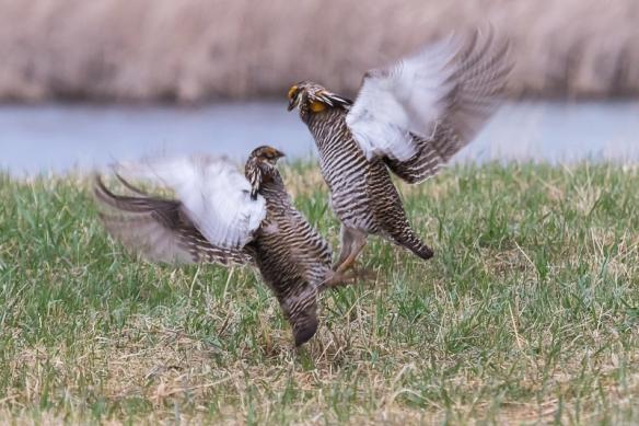 prairie chicken display-