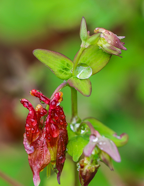 raindrops on Columbine-