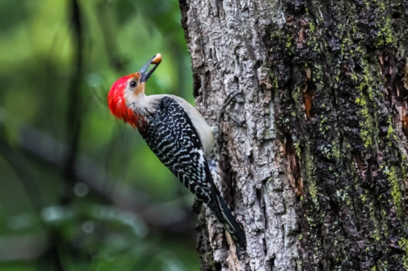 red-bellied woodpecker with peanut-