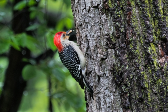 red-bellied woodpecker with peanuts