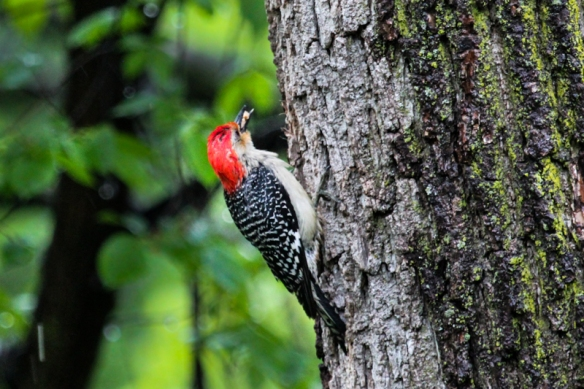 red-bellied woodpecker with peanuts-