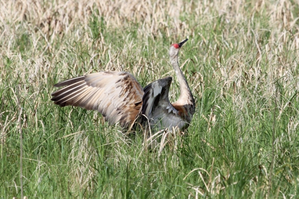 Sandhill Crane courtship display