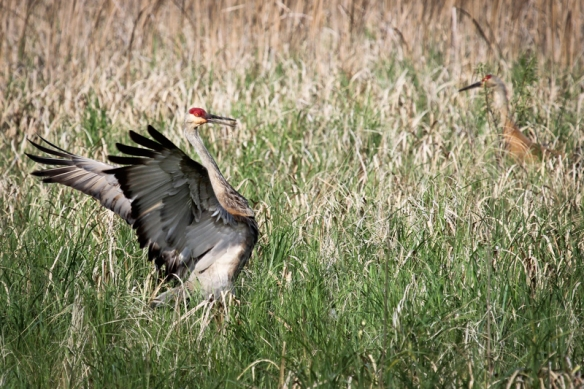 Sandhill Crane courtship display-