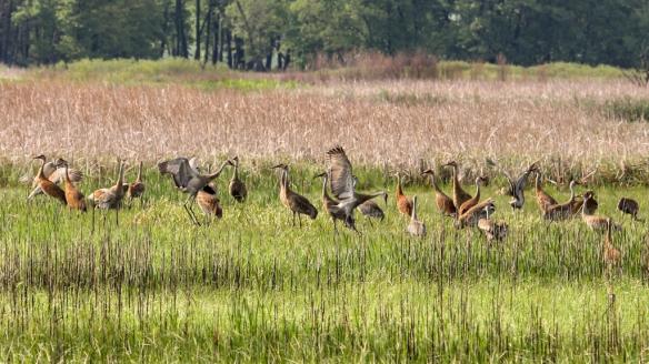 Sandhill Cranes-feeding in wetlands at Carlos Avery WMA, MN
