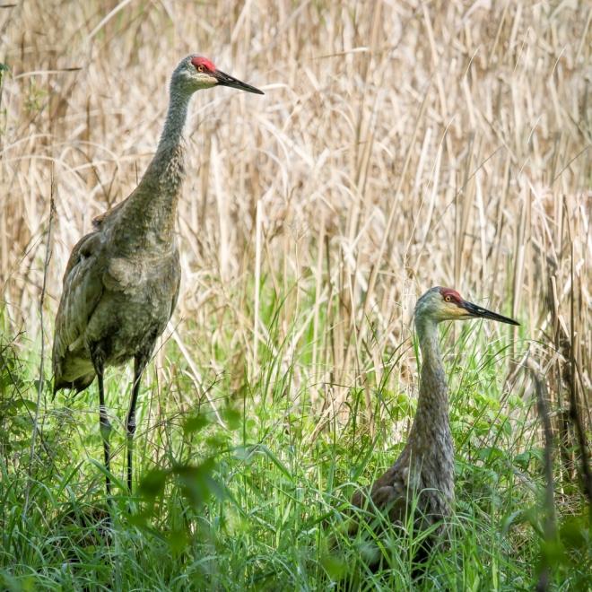 Sandhill Cranes-pair calling-