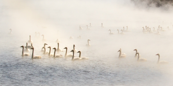 swans in the mist - Monticello, MN