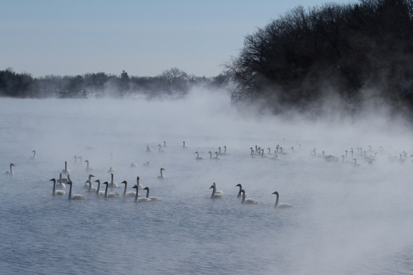 swans n the mist on the Mississippi River at Monticello, MN