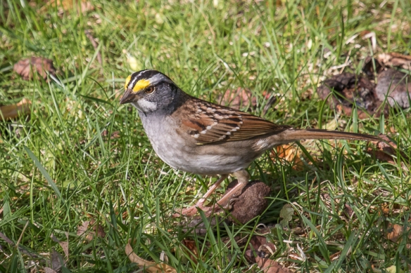 white throated sparrow-