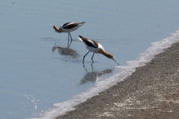 american avocets foraging at alviso marina, San Jose CA