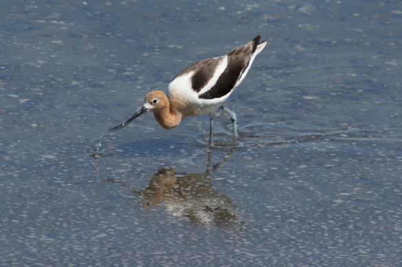 american avocet foraging at alviso marina, San Jose CA