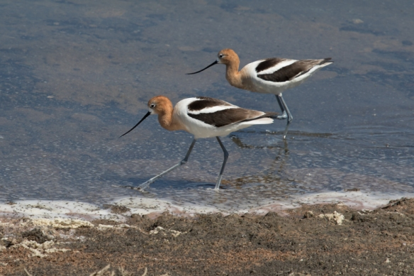 american avocets at alviso marina, San Jose CA