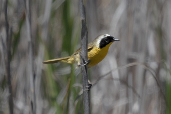 Common Yellowthroat at Alviso Marina, San Jose CA