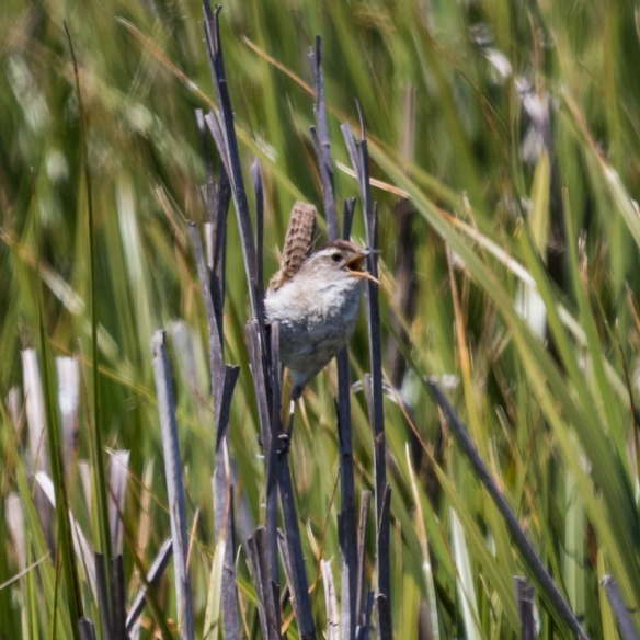 Marsh Wren singing at Alviso Marina, San Jose CA