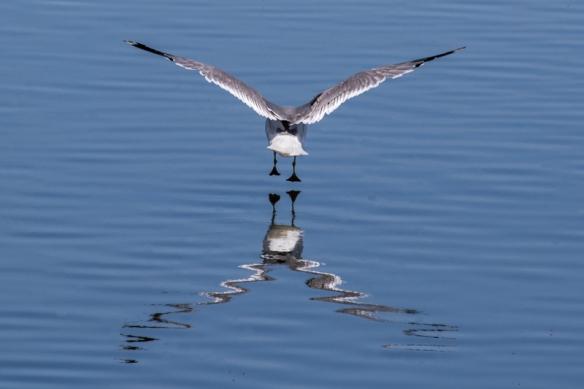 gull at Alviso Marina, San Jose CA