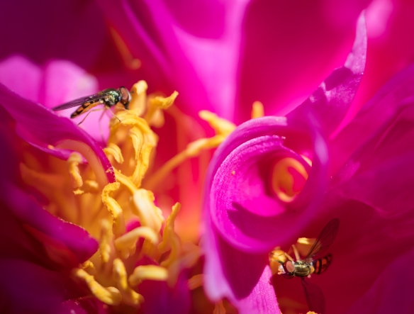 balance-syrphid flies on peony pollen