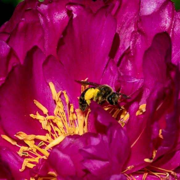 bee pollinating peony-
