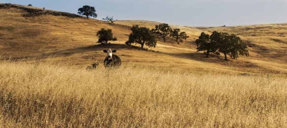 california oak grassland cattle